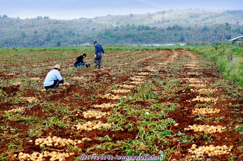 Khoai tây Đà lạt luôn là đặc sản rau củ được nhiều người tiêu dùng cả nước yêu thích và lựa chọn